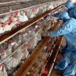 In Poland - Bird flu kills tens of thousands of turkeys