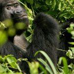 In Uganda - Killer of rare Gorilla jailed for 11 years