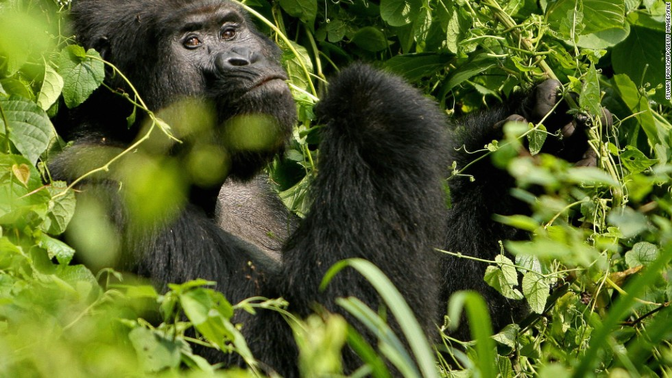 In Uganda - Killer of rare gorilla jailed for 11 years